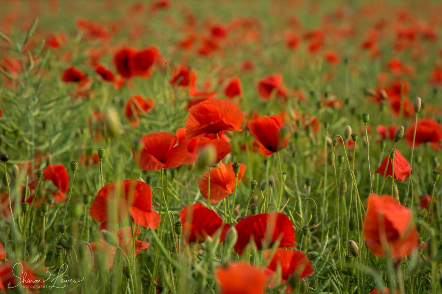 dorset, poppy, poppies, nature, flowers, bere regis